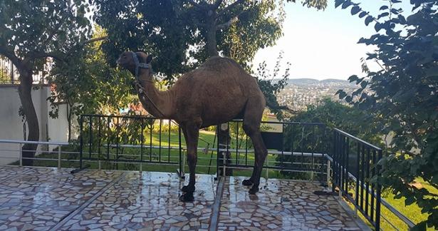 Efendi Hazretlerimizin devesi kurban edilmiştir.